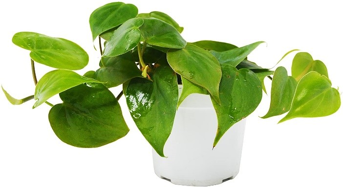 Amazon.com: Philodendron 'Cordatum' - Heartleaf - Live Indoor ...